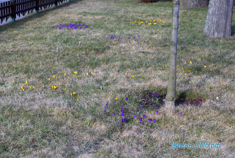 Крокусы в парке Петербурга