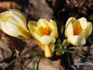 Первые цветы в Петербурге