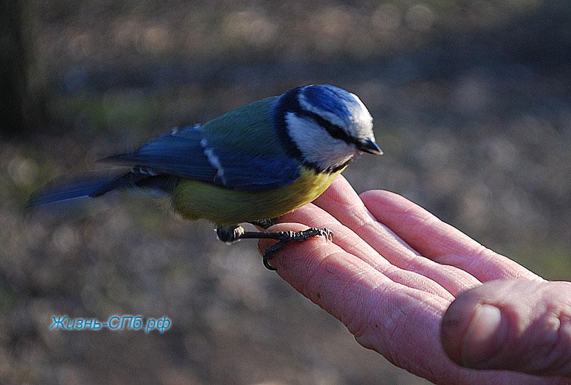 Кормление синички с руки в парке Петербурга