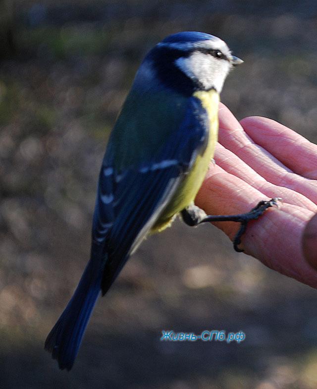 синичка лазаревка на руке