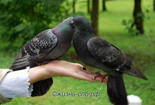 Любовь - пара голубей