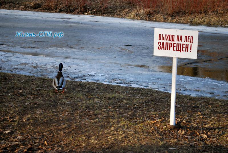Утки в парке Петербурга