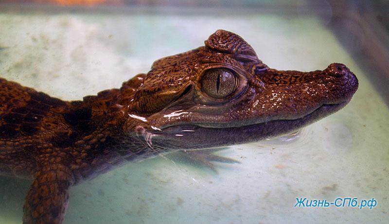 Аллигатор на выставке Зоошоу Петербург