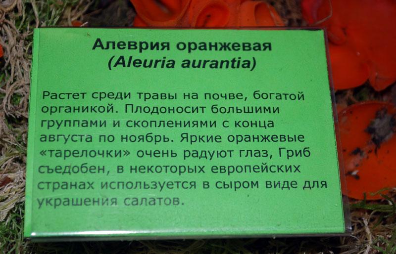 гриб Алеврия оранжевая