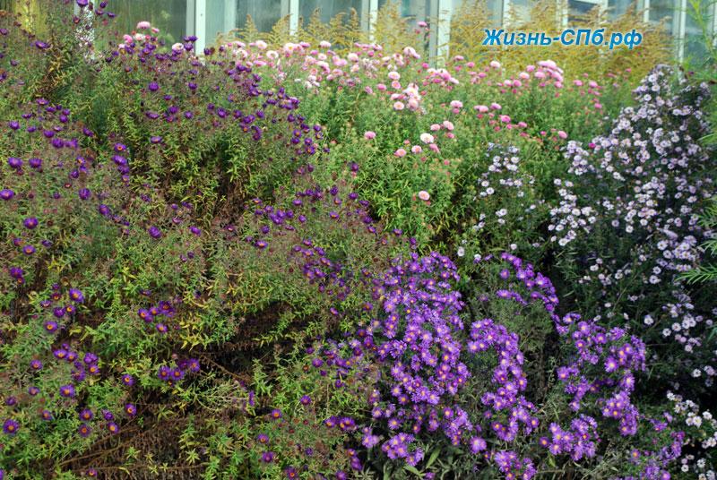 Астры кустарниковые в ботаническом саду Петербурга