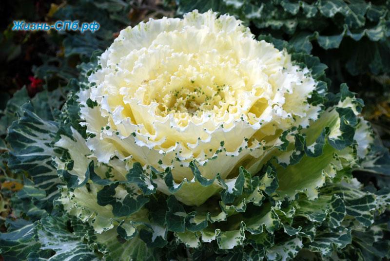 Декоративная капуста в ботаническом саду Петербурга