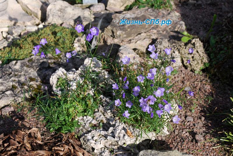Колокольчики на альпийской горке в ботаническом саду