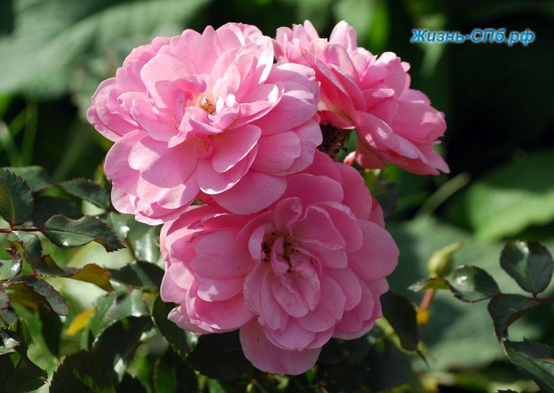 Роза Bonika