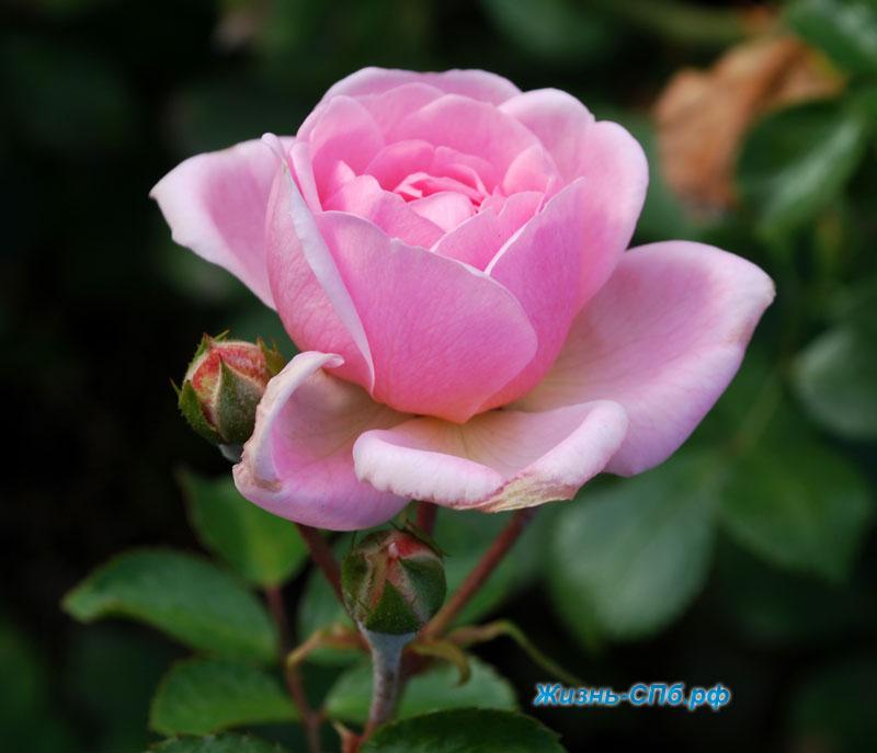 Роза Lovely Meilland