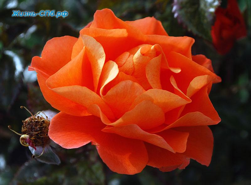 Чайно-гибридная роза Parole