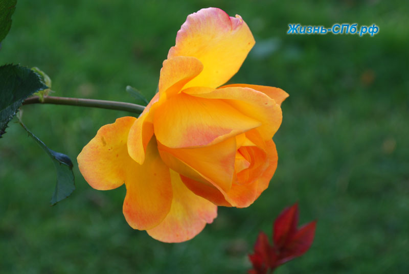 розы в ботаническом саду петербурга