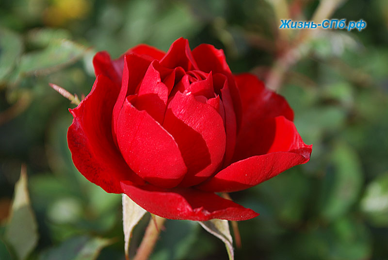 Миниатюрная роза Zwergkonig