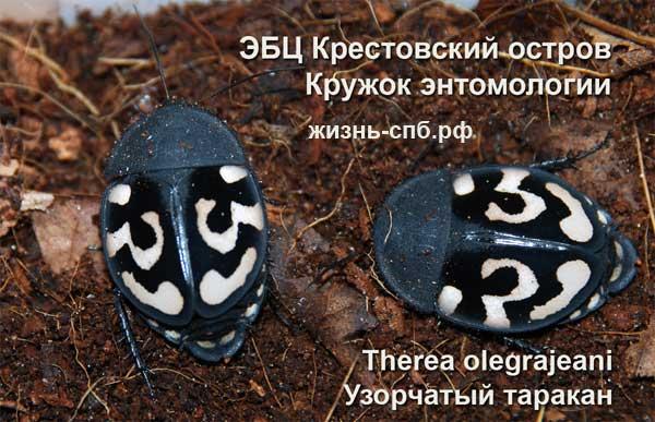 Узорчатый таракан - коллекция живых насекомых в Санкт-Петербурге