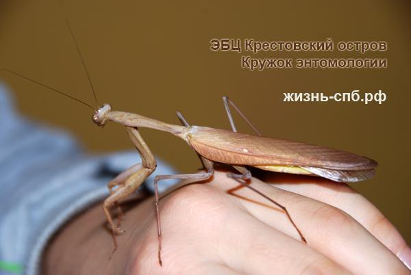 Экзотические насекомые - богомолы
