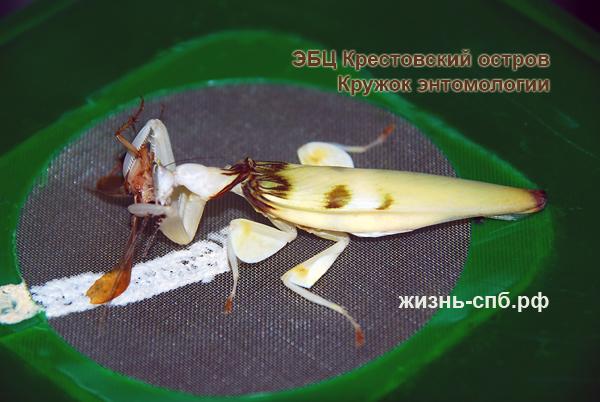 Орхидейный богомол ест