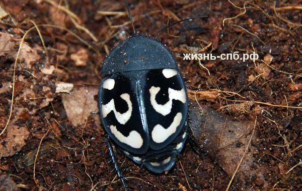 Узорчатый таракан Therea olegrajeani - содержание и разведение