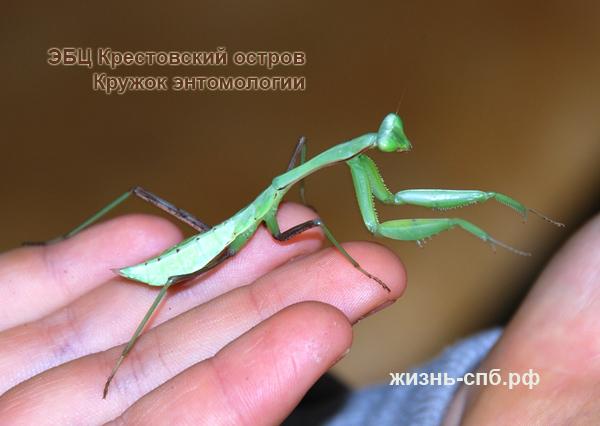 Коллекция живых насекомых в Санкт-Петербурге - богомолы
