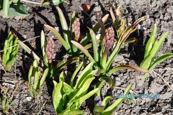 Первоцветы гиацинты
