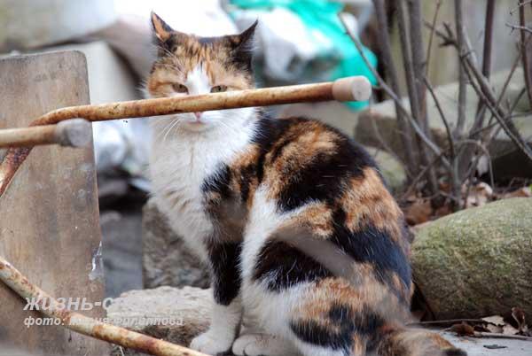 Дворовая трехцветная кошка