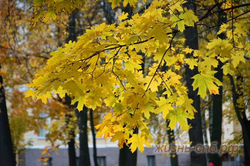 Золотая осень - клен
