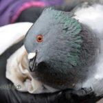 Больной или отравленный голубь