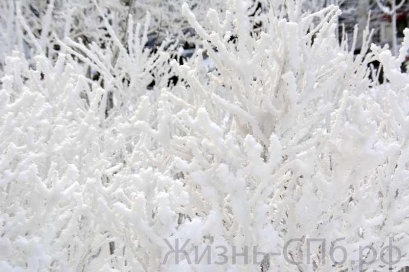Снежные кусты