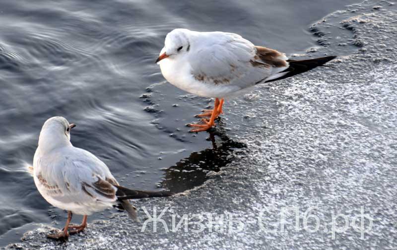 Птицы на Фонтанке