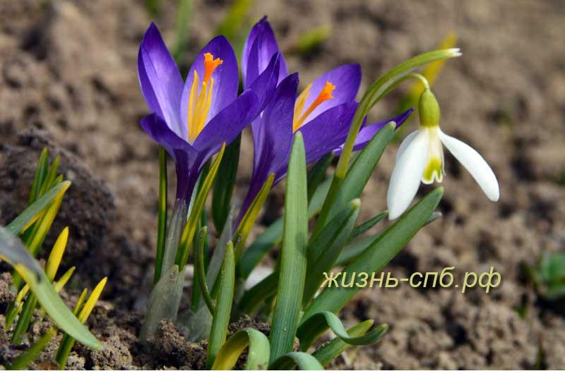 Весенние цветы в Петербурге