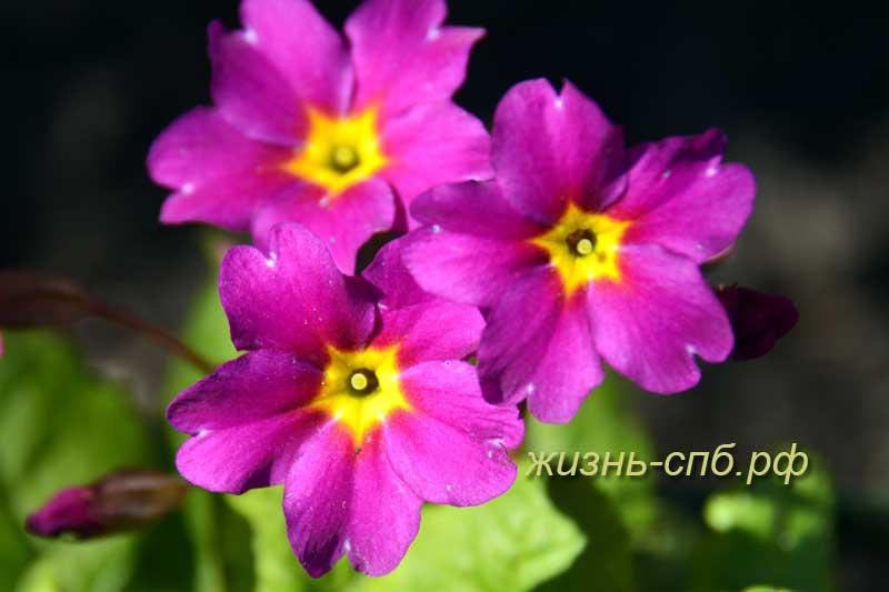Примула - весенние цветы на клумбах Петербурга