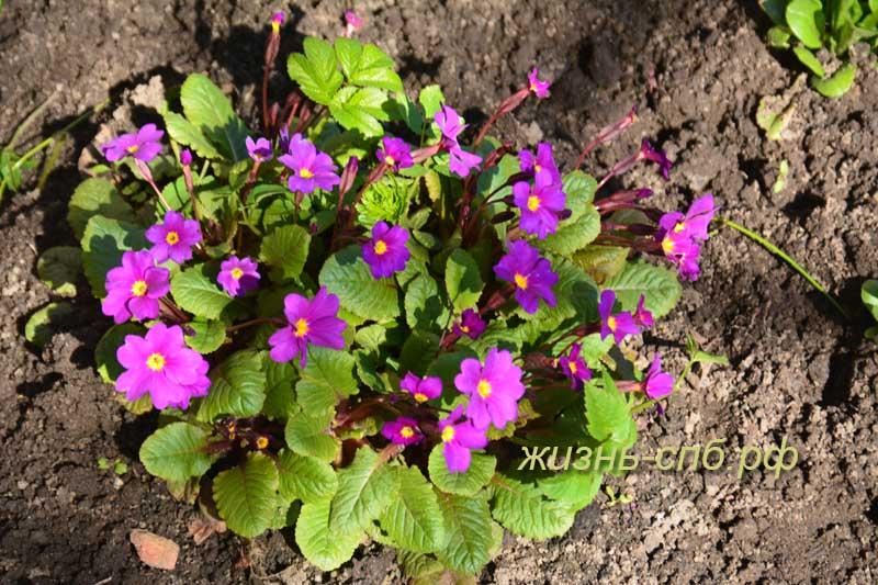 Примулы - весенние цветы