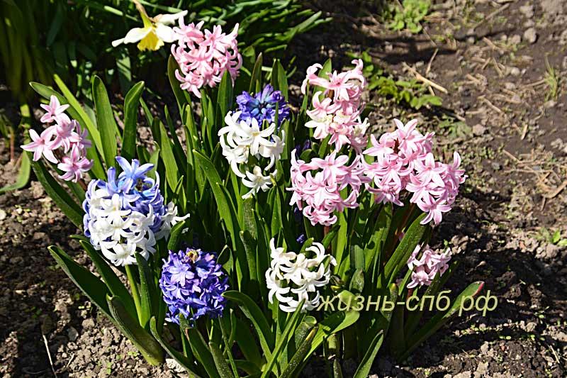 Гиацинты - первые весенние цветы