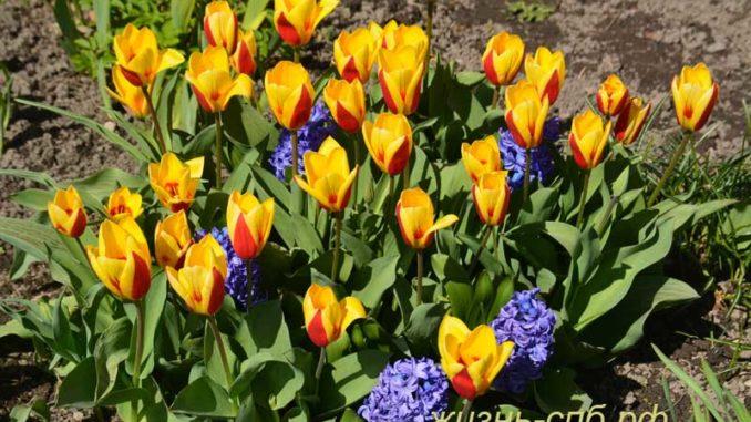 Первые апрельские тюльпаны