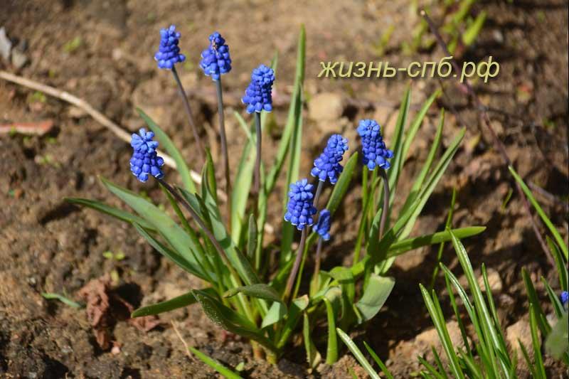Мускари - первые весенние цветы