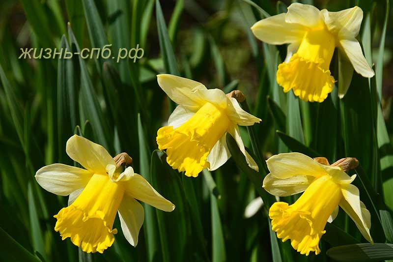 Нарциссы - весенний цветник