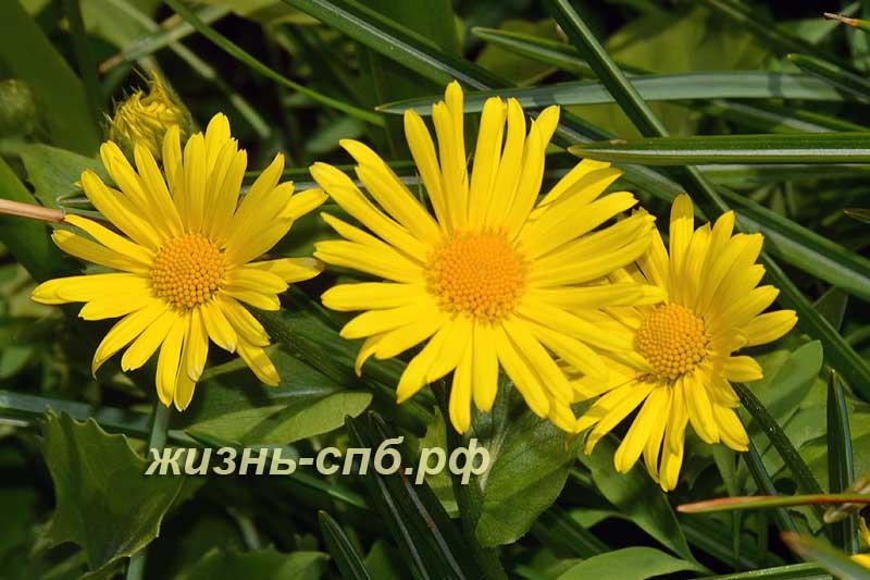 Дороникум крупнолистный - желтые цветы весны