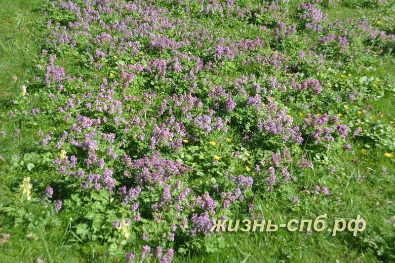 Цветущая хохлатка в ботаническом саду Петербурга