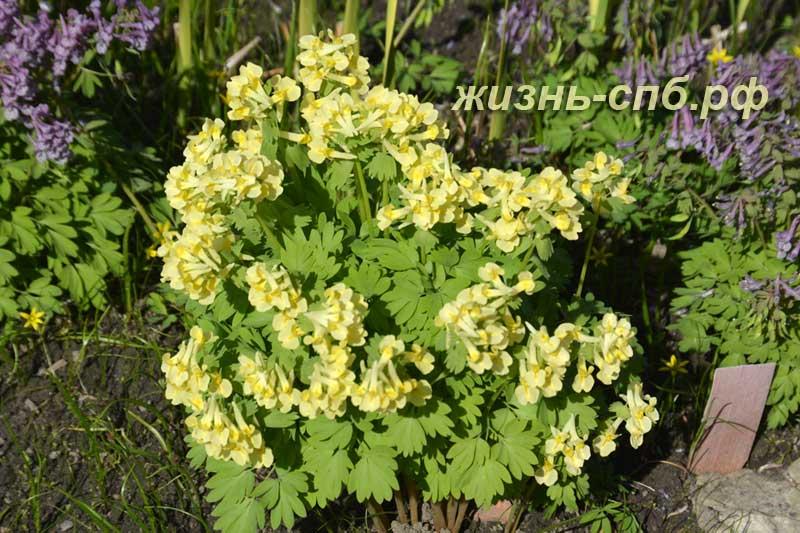 Весенние цветы в ботаническом саду Петербурга - желтые хохлатки