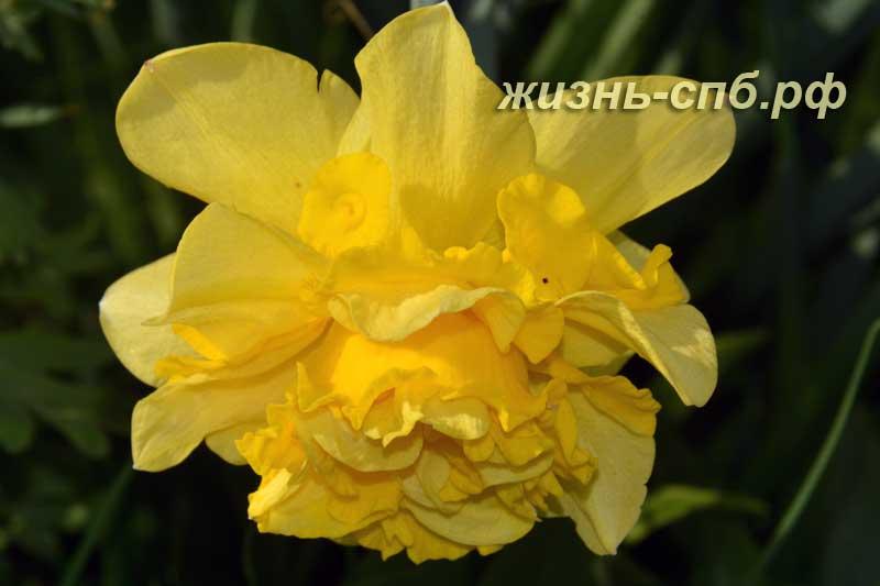 Желтый цветок нарцисса сорт Dick Wilden