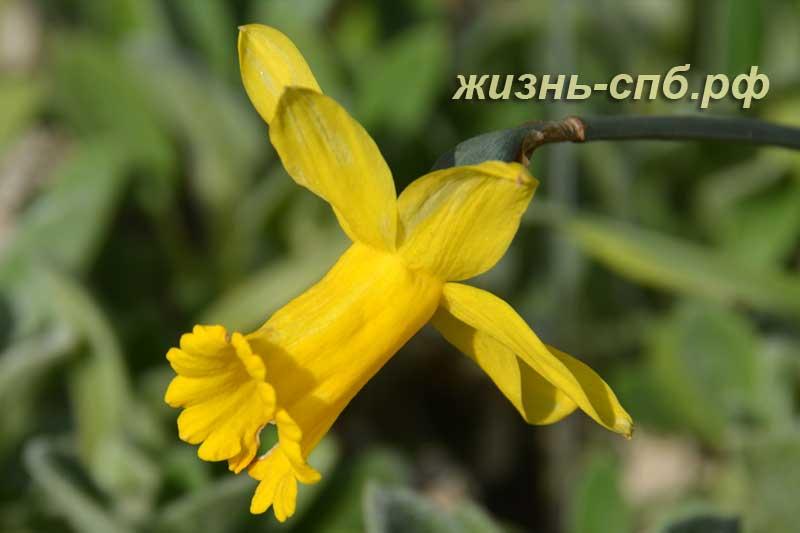 Желтый цветок нарцисса сорт Peeping Tom