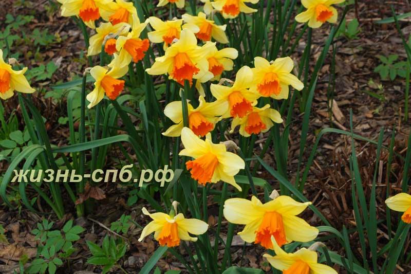 Нарциссы ботанического сада