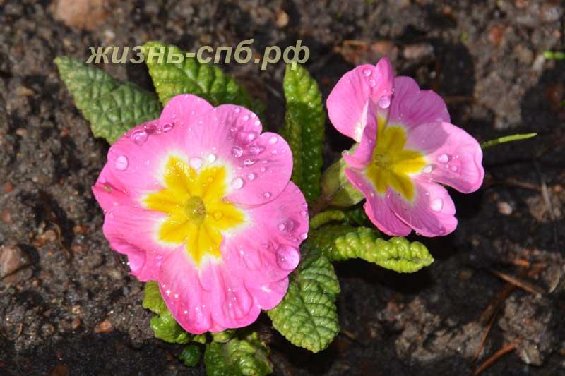 Карликовая примула розовая