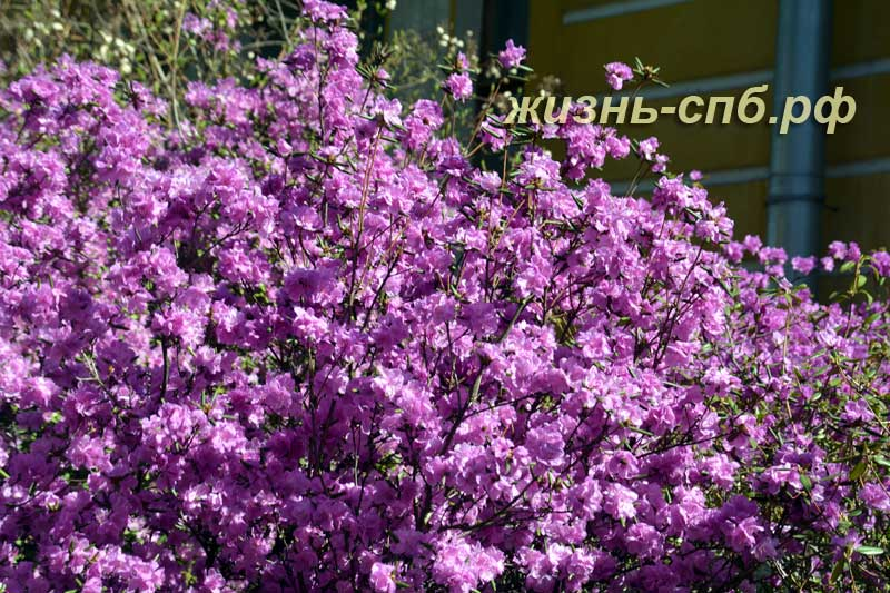 Рододендрон цветет - весенние цветы Петербурга