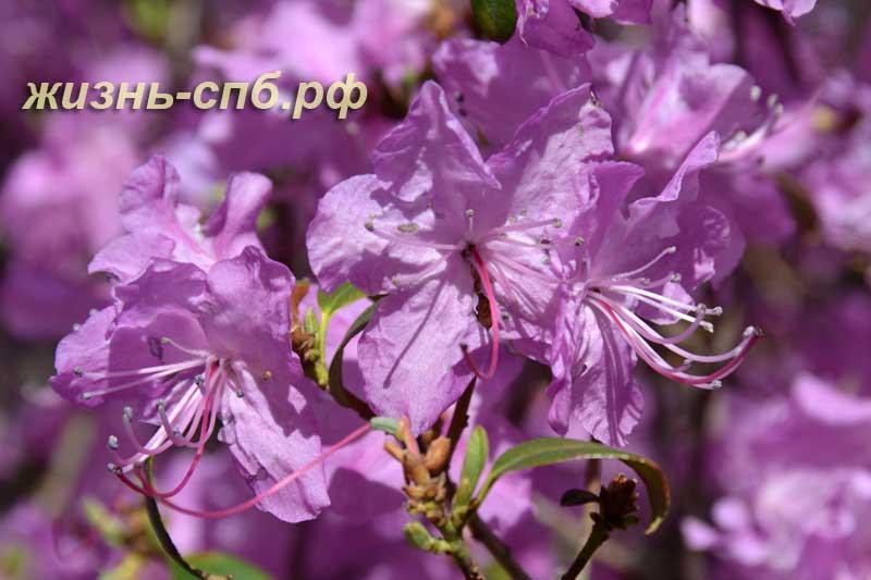 Веточка цветущего рододендрона