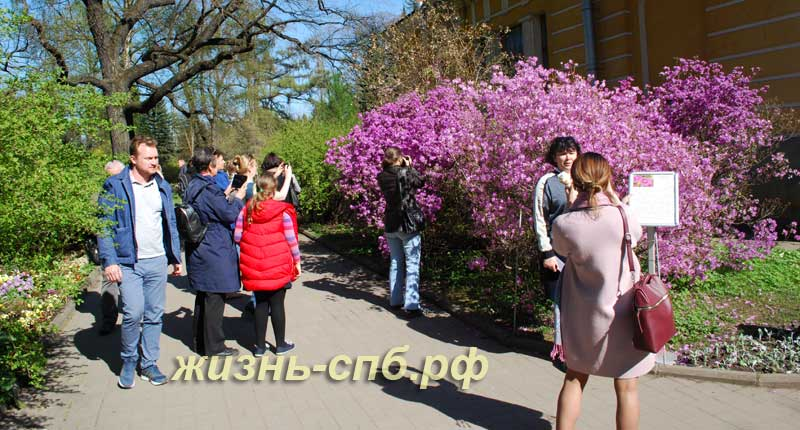 Цветущий кустарник рододендрон Ледебура в ботаническом саду Петербурга