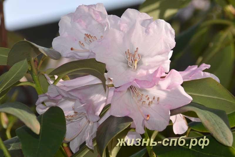 Цветущий кустарник Рододендрон Мори в ботаническом саду Петербурга