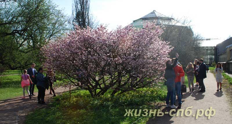 Куст цветущей сакуры в Петербурге