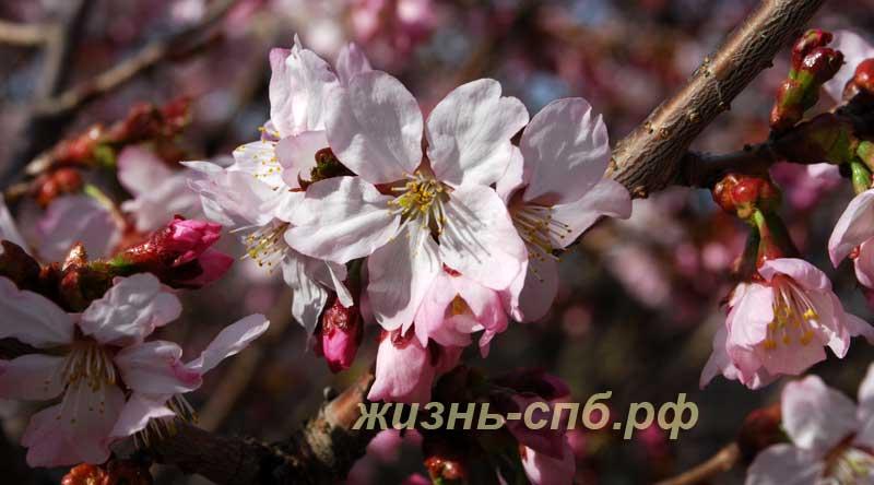 Вишня ниппонская - сакура цветет
