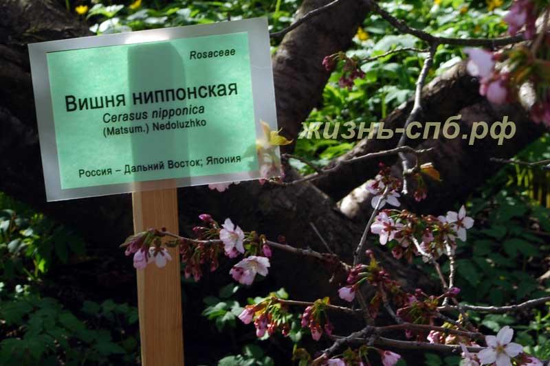 Вишня ниппонская в ботаническом саду Петербурга
