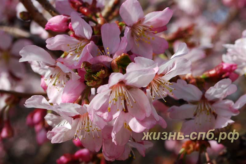 Цветущая сакура в ботаническом парке Петербурга
