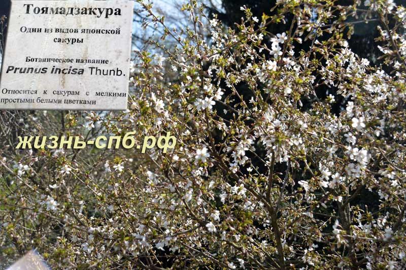 Тоямадзакура - цветущая сакура в ботаническом саду Петербурга